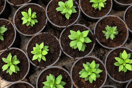 Many fresh green seedlings growing in pots with soil, top view