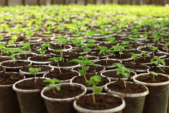 Many fresh green seedlings growing in starter pots with soil, closeup