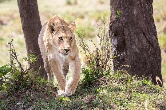Lioness (Panthera leo) walking near trees, Masai Mara National Reserve, Kenya