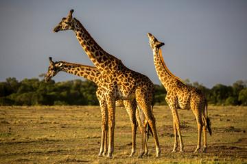 Three giraffes in field, Masai Mara National Reserve, Kenya