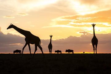 Giraffes and wildebeests silhouetted at sunset, Masai Mara National Reserve, Kenya