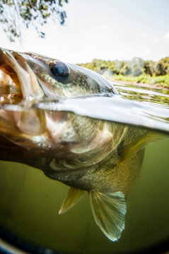 Black Bass caught on the Brazos River in Texas