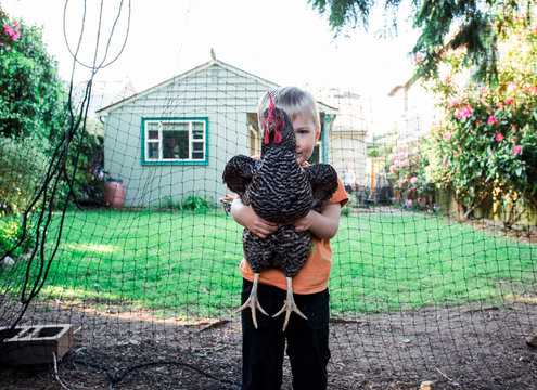 SEATTLE, WASHINGTON, USA.  A toddler holds a hen in the backyard of a small house.