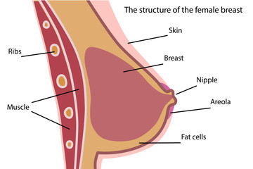 The structure of the female breast.Mammary gland.