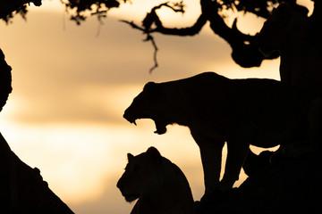 Silhouette of lioness (Panthera leo) yawning on tree, Serengeti National Park,  Shinyanga Region, Tanzania