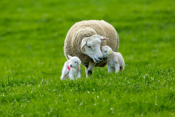 Texel ewe (female sheep) with twin, newborn lambs, in lush green meadow. A tender moment between mum and baby. Yorkshire, England. Landscape, Horizontal. Space for copy.