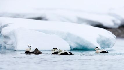 Group of common eiders (Somateria mollissima) swimming in Arctic Ocean