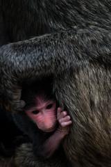 Baby monkey in arms of adult female, Serengeti National Park,  Ngorongoro District, Tanzania