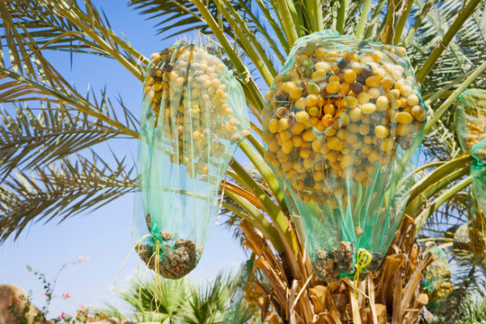 Date palm tree with nets covering fruit, Wadi Rum, Aqaba Governorate, Jordan