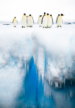 Emperor Penguins (Aptenodytes forsteri) standing on iceberg