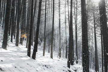 Winter scene with a black pine forest (Pinus nigra) and the sun's rays tthat penetrate the canopy.  On the left side of the picture is a little beech tree ( Fagus sylvatica ) Shot near a place called Studenica, south-western Serbia.