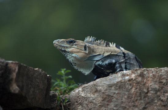 An iguana sunbathes in the Mayan city of Uxmal, Yucatan Peninsula, Mexico