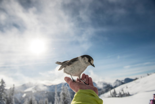 A grey jay sits on the hand of a back country skier in Mount Rainier National Park.  asd