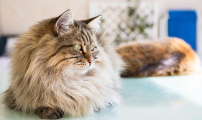 Beautiful pet of livestock in relax, siberian purebred cat