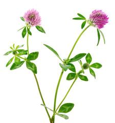 Clover flower on a stem.