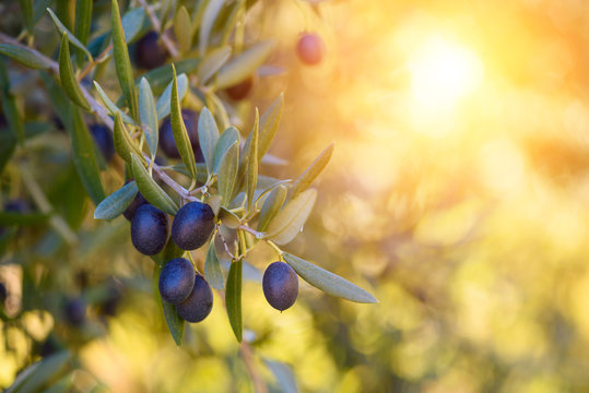 Olive trees farm. Olive branch with ripe fresh olives ready for harvest.