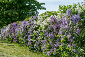 Foto auf Leinwand Flieder Hedge with white and purple lilac in summer sunlight