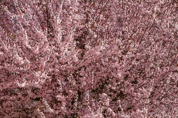Ciruelo de jardín. Cerezo ornamental. Árbol con flores rosas en primavera. Prunus cerasifera.