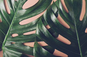 Big monstera leaves. Tropical theme background in a trendy flat lay style in vibrant gradient holographic colors. Pop art. Natural trendy background.