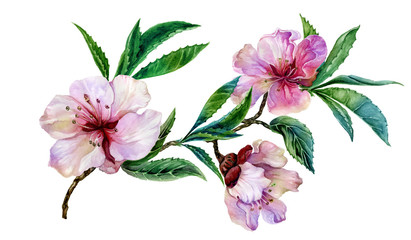 Beautiful peach tree flower on a twig. Spring flourish illustration. Isolated on white background. Watercolor painting. Hand drawn.