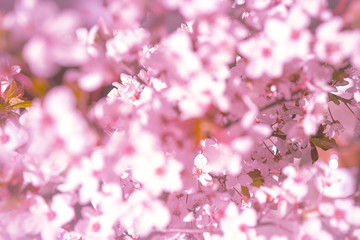 Wall Murals Spring Blooming tree with white, pink flowers in morning sunshine and shadow, blurred sunlight. Soft focus. Spring blossom flower background. Easter sunny day.
