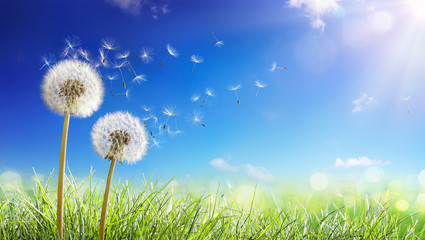 Wall Mural - Dandelions With Wind In Field - Seeds Blowing Away Blue Sky