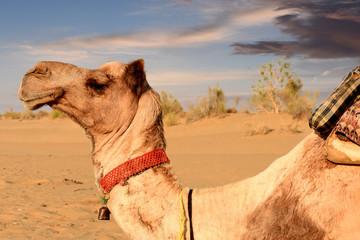 Fotobehang Leeuw camel in dunes of Thar desert, Jaisalmer, Rajasthan, India