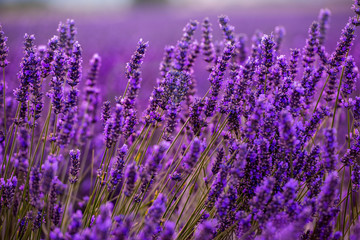 Tuinposter Lavendel Close up Bushes of lavender purple aromatic flowers