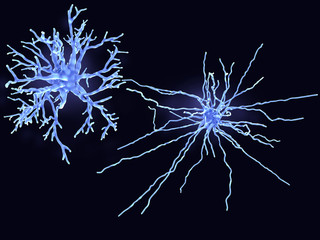 A protoplasmic (left) and a fibrous astrocyte. Protoplasmic astrocytes are found in the gray matter and the fibrous in the white matter of the brain.