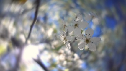 Wall Mural - Spring sun shining through beautiful white flowering tree bloom blossoms, closeup. Slow motion.