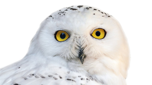 white snowy owl with yellow eyes isolated on white background.