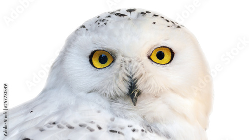 Wall mural white snowy owl with yellow eyes isolated on white background.