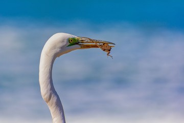 Great Egret with captured lizard
