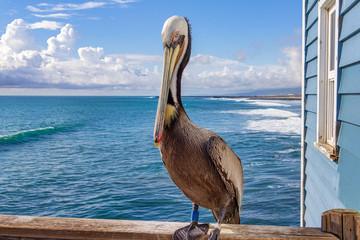 Brown Pelican standing on pier railing