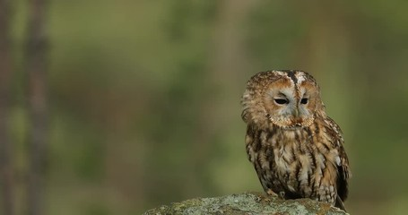 Fototapete - Tawny owl sitting on the stone n forest. Clear green background. Beautiful animal in the nature. Bird in the Sweden forest. Wildlife scene from dark spruce tree.