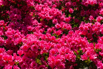 Türaufkleber Azalee Beautiful full bloom colorful Indian Azaleas ( Rhododendron simsii ) flowers in springtime sunny day at Ashikaga Flower Park, Tochigi prefecture, Japan