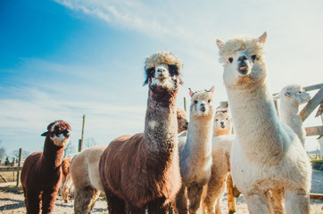 Photo sur Aluminium Lama Group of cute alpacas in outside looking