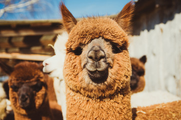 Cute alpaca baby in the barn close up looking at the camera