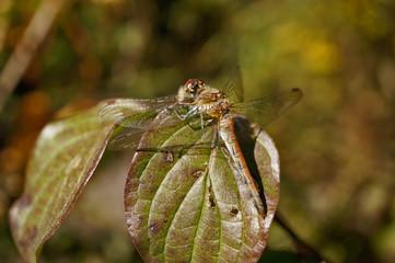 "Insekt - Libelle ""Gemeine Heidelibelle"""