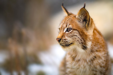 Photo on textile frame Lynx Close-up of eurasian lynx in the forest at early winter