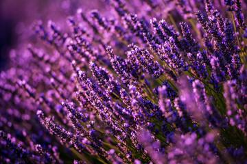 Keuken foto achterwand Lavendel Close up Bushes of lavender purple aromatic flowers