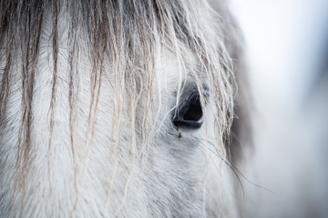 Grey Horse in Winter Background