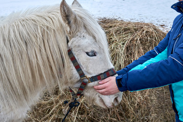 young girl in winter clothes stroking the head of a white horse standing on a field in winter on a...
