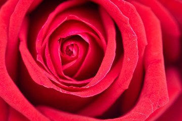 Defocused red rose flower background.