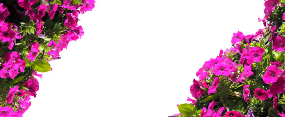 Wall Mural - Pink petunia flower isolated on white background