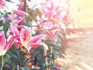 Wall Mural - Close up Pink lily flower at farm.