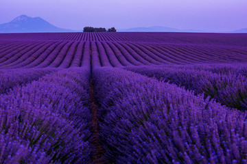 Foto op Aluminium Violet colorful sunset at lavender field