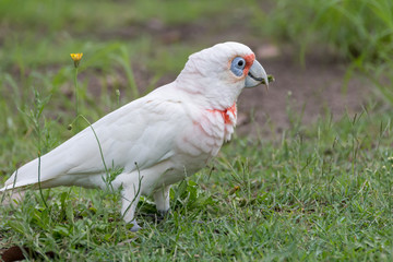 Long-billed Corella in the grass