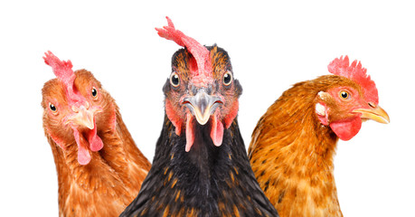 Photo sur Plexiglas Poules Portrait of three chickens isolated on white background