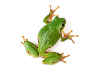 Green Tree Frog Climbing On White Close-Up Hyla arborea